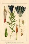 "Lungen-Enzian - Gentiana pneumonanthe; Bildquelle: <a href=""https://www.pflanzen-deutschland.de/quellen.php?bild_quelle=Deutschlands Flora in Abbildungen, Johann Georg Sturm 1796"">Deutschlands Flora in Abbildungen, Johann Georg Sturm 1796</a>; Bildlizenz: <a href=""https://creativecommons.org/licenses/publicdomain/deed.de"" target=_blank title=""Public Domain"">Public Domain</a>;"