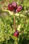 "Purpur-Enzian - Gentiana purpurea; Bildquelle: <a href=""https://www.pflanzen-deutschland.de/quellen.php?bild_quelle=Wikipedia User Bjoertvedt"">Wikipedia User Bjoertvedt</a>; Bildlizenz: <a href=""https://creativecommons.org/licenses/by-sa/3.0/deed.de"" target=_blank title=""Namensnennung - Weitergabe unter gleichen Bedingungen 3.0 Unported (CC BY-SA 3.0)"">CC BY-SA 3.0</a>; <br>Wiki Commons Bildbeschreibung: <a href=""https://commons.wikimedia.org/wiki/File:Gentiana_purpurea_gaustad_IMG_0094.JPG"" target=_blank title=""https://commons.wikimedia.org/wiki/File:Gentiana_purpurea_gaustad_IMG_0094.JPG"">https://commons.wikimedia.org/wiki/File:Gentiana_purpurea_gaustad_IMG_0094.JPG</a>"