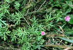 """Stein Storchschnabel - Geranium columbinum; Bildquelle: <a href=""""https://www.pflanzen-deutschland.de/quellen.php?bild_quelle=Wikipedia User Fornax"""">Wikipedia User Fornax</a>; Bildlizenz: <a href=""""https://creativecommons.org/licenses/by-sa/3.0/deed.de"""" target=_blank title=""""Namensnennung - Weitergabe unter gleichen Bedingungen 3.0 Unported (CC BY-SA 3.0)"""">CC BY-SA 3.0</a>;"""