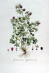 """Schlitzblättriger Storchschnabel - Geranium dissectum; Bildquelle: <a href=""""https://www.pflanzen-deutschland.de/quellen.php?bild_quelle=Wikipedia User FloraUploadR"""">Wikipedia User FloraUploadR</a>; Bildlizenz: <a href=""""https://creativecommons.org/licenses/by-sa/3.0/deed.de"""" target=_blank title=""""Namensnennung - Weitergabe unter gleichen Bedingungen 3.0 Unported (CC BY-SA 3.0)"""">CC BY-SA 3.0</a>;"""