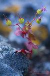 """Glänzender Storchschnabel - Geranium lucidum; Bildquelle: <a href=""""https://www.pflanzen-deutschland.de/quellen.php?bild_quelle=Wikipedia User Dmitriy Konstantinov"""">Wikipedia User Dmitriy Konstantinov</a>; Bildlizenz: <a href=""""https://creativecommons.org/licenses/by-sa/3.0/deed.de"""" target=_blank title=""""Namensnennung - Weitergabe unter gleichen Bedingungen 3.0 Unported (CC BY-SA 3.0)"""">CC BY-SA 3.0</a>;"""
