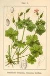 """Glänzender Storchschnabel - Geranium lucidum; Bildquelle: <a href=""""https://www.pflanzen-deutschland.de/quellen.php?bild_quelle=Deutschlands Flora in Abbildungen 1796"""">Deutschlands Flora in Abbildungen 1796</a>; Bildlizenz: <a href=""""https://creativecommons.org/licenses/publicdomain/deed.de"""" target=_blank title=""""Public Domain"""">Public Domain</a>;"""