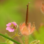 "Kleiner Storchschnabel - Geranium pusillum; Bildquelle: <a href=""https://www.pflanzen-deutschland.de/quellen.php?bild_quelle=Wikipedia User Tm"">Wikipedia User Tm</a>; Bildlizenz: <a href=""https://creativecommons.org/licenses/by-sa/2.0/deed.de"" target=_blank title=""Namensnennung - Weitergabe unter gleichen Bedingungen 2.0 Unported (CC BY-SA 2.0)"">CC BY 2.0</a>; <br>Wiki Commons Bildbeschreibung: <a href=""https://commons.wikimedia.org/wiki/File:Geranium_pusillum_(14407255866).jpg"" target=_blank title=""https://commons.wikimedia.org/wiki/File:Geranium_pusillum_(14407255866).jpg"">https://commons.wikimedia.org/wiki/File:Geranium_pusillum_(14407255866).jpg</a>"
