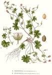 "Kleiner Storchschnabel - Geranium pusillum; Bildquelle: <a href=""https://www.pflanzen-deutschland.de/quellen.php?bild_quelle=Carl Axel Magnus Lindman Bilder ur Nordens Flora 1901-1905"">Carl Axel Magnus Lindman Bilder ur Nordens Flora 1901-1905</a>; Bildlizenz: <a href=""https://creativecommons.org/licenses/publicdomain/deed.de"" target=_blank title=""Public Domain"">Public Domain</a>;"