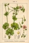 """Pyrenäen Storchschnabel - Geranium pyrenaicum; Bildquelle: <a href=""""https://www.pflanzen-deutschland.de/quellen.php?bild_quelle=Deutschlands Flora in Abbildungen 1796"""">Deutschlands Flora in Abbildungen 1796</a>; Bildlizenz: <a href=""""https://creativecommons.org/licenses/publicdomain/deed.de"""" target=_blank title=""""Public Domain"""">Public Domain</a>;"""