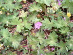 "Rundblättriger Storchschnabel - Geranium rotundifolium; Bildquelle: <a href=""https://www.pflanzen-deutschland.de/quellen.php?bild_quelle=Wikipedia User Follavoinecommonswiki"">Wikipedia User Follavoinecommonswiki</a>; Bildlizenz: <a href=""https://creativecommons.org/licenses/by-sa/3.0/deed.de"" target=_blank title=""Namensnennung - Weitergabe unter gleichen Bedingungen 3.0 Unported (CC BY-SA 3.0)"">CC BY-SA 3.0</a>; <br>Wiki Commons Bildbeschreibung: <a href=""https://commons.wikimedia.org/wiki/File:Geranium_rotundifolium01.jpg"" target=_blank title=""https://commons.wikimedia.org/wiki/File:Geranium_rotundifolium01.jpg"">https://commons.wikimedia.org/wiki/File:Geranium_rotundifolium01.jpg</a>"