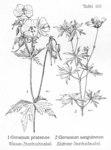 """Blutroter Storchschnabel - Geranium sanguineum; Bildquelle: <a href=""""https://www.pflanzen-deutschland.de/quellen.php?bild_quelle=Friedrich Oltmanns Pflanzenleben des Schwarzwaldes Tafeln 1927"""">Friedrich Oltmanns Pflanzenleben des Schwarzwaldes Tafeln 1927</a>; Bildlizenz: <a href=""""https://creativecommons.org/licenses/publicdomain/deed.de"""" target=_blank title=""""Public Domain"""">Public Domain</a>;"""