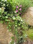 """Illyrische Siegwurz - Gladiolus illyricus; Bildquelle: © <a href=""""https://www.pflanzen-deutschland.de/quellen.php?bild_quelle=Bönisch 2012"""">Bönisch 2012</a> - <b>All rights reserved</b>"""