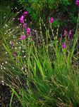 """Sumpf-Siegwurz - Gladiolus palustris; Bildquelle: <a href=""""https://www.pflanzen-deutschland.de/quellen.php?bild_quelle=Wikipedia User Llez"""">Wikipedia User Llez</a>; Bildlizenz: <a href=""""https://creativecommons.org/licenses/by-sa/3.0/deed.de"""" target=_blank title=""""Namensnennung - Weitergabe unter gleichen Bedingungen 3.0 Unported (CC BY-SA 3.0)"""">CC BY-SA 3.0</a>;"""