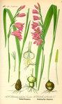 """Sumpf-Siegwurz - Gladiolus palustris; Bildquelle: <a href=""""https://www.pflanzen-deutschland.de/quellen.php?bild_quelle=Prof. Dr. Otto Wilhelm Thome Flora von Deutschland, Österreich und der Schweiz 1885, Gera, Germany"""">Prof. Dr. Otto Wilhelm Thome Flora von Deutschland, Österreich und der Schweiz 1885, Gera, Germany</a>; Bildlizenz: <a href=""""https://creativecommons.org/licenses/publicdomain/deed.de"""" target=_blank title=""""Public Domain"""">Public Domain</a>;"""