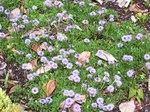 """Herzblättrige Kugelblume - Globularia cordifolia; Bildquelle: <a href=""""https://www.pflanzen-deutschland.de/quellen.php?bild_quelle=Wikipedia User Cillas"""">Wikipedia User Cillas</a>; Bildlizenz: <a href=""""https://creativecommons.org/licenses/by-sa/3.0/deed.de"""" target=_blank title=""""Namensnennung - Weitergabe unter gleichen Bedingungen 3.0 Unported (CC BY-SA 3.0)"""">CC BY-SA 3.0</a>;"""