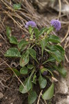 "Gewöhnliche Kugelblume - Globularia punctata; Bildquelle: <a href=""https://www.pflanzen-deutschland.de/quellen.php?bild_quelle=Wikipedia User Sporti"">Wikipedia User Sporti</a>; Bildlizenz: <a href=""https://creativecommons.org/licenses/by-sa/3.0/deed.de"" target=_blank title=""Namensnennung - Weitergabe unter gleichen Bedingungen 3.0 Unported (CC BY-SA 3.0)"">CC BY-SA 3.0</a>; <br>Wiki Commons Bildbeschreibung: <a href=""https://commons.wikimedia.org/wiki/File:Globularia_punctata_PID1232-1.jpg"" target=_blank title=""https://commons.wikimedia.org/wiki/File:Globularia_punctata_PID1232-1.jpg"">https://commons.wikimedia.org/wiki/File:Globularia_punctata_PID1232-1.jpg</a>"