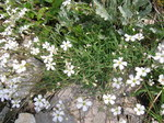 "Kriechendes Gipskraut - Gypsophila repens; Bildquelle: <a href=""https://www.pflanzen-deutschland.de/quellen.php?bild_quelle=Wikipedia User Tigerente"">Wikipedia User Tigerente</a>; Bildlizenz: <a href=""https://creativecommons.org/licenses/by-sa/3.0/deed.de"" target=_blank title=""Namensnennung - Weitergabe unter gleichen Bedingungen 3.0 Unported (CC BY-SA 3.0)"">CC BY-SA 3.0</a>; <br>Wiki Commons Bildbeschreibung: <a href=""https://commons.wikimedia.org/wiki/File:Gypsophila_repens.jpg"" target=_blank title=""https://commons.wikimedia.org/wiki/File:Gypsophila_repens.jpg"">https://commons.wikimedia.org/wiki/File:Gypsophila_repens.jpg</a>"