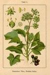 "Efeu - Hedera helix; Bildquelle: <a href=""https://www.pflanzen-deutschland.de/quellen.php?bild_quelle=Deutschlands Flora in Abbildungen 1796"">Deutschlands Flora in Abbildungen 1796</a>; Bildlizenz: <a href=""https://creativecommons.org/licenses/publicdomain/deed.de"" target=_blank title=""Public Domain"">Public Domain</a>;"