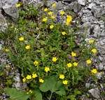 "Gewöhnliches Sonnenröschen - Helianthemum nummularium; Bildquelle: <a href=""https://www.pflanzen-deutschland.de/quellen.php?bild_quelle=Wikipedia User Butko"">Wikipedia User Butko</a>; Bildlizenz: <a href=""https://creativecommons.org/licenses/by-sa/3.0/deed.de"" target=_blank title=""Namensnennung - Weitergabe unter gleichen Bedingungen 3.0 Unported (CC BY-SA 3.0)"">CC BY-SA 3.0</a>; <br>Wiki Commons Bildbeschreibung: <a href=""https://commons.wikimedia.org/wiki/File:Helianthemum_nummularium_(L.)_Mill._(9373774179).jpg"" target=_blank title=""https://commons.wikimedia.org/wiki/File:Helianthemum_nummularium_(L.)_Mill._(9373774179).jpg"">https://commons.wikimedia.org/wiki/File:Helianthemum_nummularium_(L.)_Mill._(9373774179).jpg</a>"