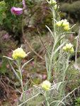 """Sand-Strohblume - Helichrysum arenarium; Bildquelle: © <a href=""""https://www.pflanzen-deutschland.de/quellen.php?bild_quelle=Bönisch 2012"""">Bönisch 2012</a> - <b>All rights reserved</b>"""