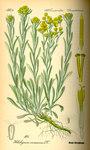"""Sand-Strohblume - Helichrysum arenarium; Bildquelle: <a href=""""https://www.pflanzen-deutschland.de/quellen.php?bild_quelle=Prof. Dr. Otto Wilhelm Thome Flora von Deutschland, Österreich und der Schweiz 1885, Gera, Germany"""">Prof. Dr. Otto Wilhelm Thome Flora von Deutschland, Österreich und der Schweiz 1885, Gera, Germany</a>; Bildlizenz: <a href=""""https://creativecommons.org/licenses/publicdomain/deed.de"""" target=_blank title=""""Public Domain"""">Public Domain</a>;"""