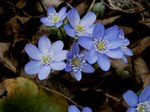 "Leberblümchen - Hepatica nobilis; Bildquelle: <a href=""https://www.pflanzen-deutschland.de/quellen.php?bild_quelle=Wikipedia User Meneerke bloem"">Wikipedia User Meneerke bloem</a>; Bildlizenz: <a href=""https://creativecommons.org/licenses/by-sa/3.0/deed.de"" target=_blank title=""Namensnennung - Weitergabe unter gleichen Bedingungen 3.0 Unported (CC BY-SA 3.0)"">CC BY-SA 3.0</a>; <br>Wiki Commons Bildbeschreibung: <a href=""https://commons.wikimedia.org/wiki/File:Hepatica_nobilis007.jpg"" target=_blank title=""https://commons.wikimedia.org/wiki/File:Hepatica_nobilis007.jpg"">https://commons.wikimedia.org/wiki/File:Hepatica_nobilis007.jpg</a>"