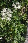 """Weiße Österreichische Bärenklau - Heracleum austriacum subsp. austriacum; Bildquelle: <a href=""""https://www.pflanzen-deutschland.de/quellen.php?bild_quelle=Wikipedia User HermannSchachner"""">Wikipedia User HermannSchachner</a>; Bildlizenz: <a href=""""https://creativecommons.org/licenses/publicdomain/deed.de"""" target=_blank title=""""Public Domain"""">Public Domain</a>;"""