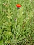 """Orangerotes Habichtskraut - Hieracium aurantiacum; Bildquelle: &copy; <a href=""""http://www.pflanzen-deutschland.de/quellen.php?bild_quelle=Bönisch 2009"""">Bönisch 2009</a> - <b>All rights reserved</b>"""