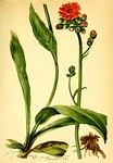 """Orangerotes Habichtskraut - Hieracium aurantiacum; Bildquelle: <a href=""""https://www.pflanzen-deutschland.de/quellen.php?bild_quelle=Anton Hartinger, Atlas der Alpenflora 1882"""">Anton Hartinger, Atlas der Alpenflora 1882</a>; Bildlizenz: <a href=""""https://creativecommons.org/licenses/publicdomain/deed.de"""" target=_blank title=""""Public Domain"""">Public Domain</a>;"""