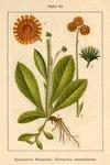 """Orangerotes Habichtskraut - Hieracium aurantiacum; Bildquelle: <a href=""""http://www.pflanzen-deutschland.de/quellen.php?bild_quelle=Deutschlands Flora in Abbildungen 1796"""">Deutschlands Flora in Abbildungen 1796</a>; Bildlizenz: <a href=""""https://creativecommons.org/licenses/publicdomain/deed.de"""" target=_blank title=""""Public Domain"""">Public Domain</a>;"""