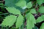 """Christophskraut - Actaea spicata; Bildquelle: <a href=""""https://www.pflanzen-deutschland.de/quellen.php?bild_quelle=Wikipedia User Enrico Blasutto"""">Wikipedia User Enrico Blasutto</a>; Bildlizenz: <a href=""""https://creativecommons.org/licenses/by-sa/3.0/deed.de"""" target=_blank title=""""Namensnennung - Weitergabe unter gleichen Bedingungen 3.0 Unported (CC BY-SA 3.0)"""">CC BY-SA 3.0</a>;"""