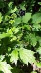 """Christophskraut - Actaea spicata; Bildquelle: <a href=""""https://www.pflanzen-deutschland.de/quellen.php?bild_quelle=Wolfgang Heinrich, Erlangen"""">Wolfgang Heinrich, Erlangen</a>; Bildlizenz: <a href=""""https://creativecommons.org/licenses/by-sa/3.0/deed.de"""" target=_blank title=""""Namensnennung - Weitergabe unter gleichen Bedingungen 3.0 Unported (CC BY-SA 3.0)"""">CC BY-SA 3.0</a>;"""