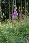 "Roter Fingerhut - Digitalis purpurea; Bildquelle: © <a href=""https://www.pflanzen-deutschland.de/quellen.php?bild_quelle=Bönisch 2009"">Bönisch 2009</a> - <b>All rights reserved</b>"