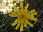 "Gewöhnliches Habichtskraut - Hieracium lachenalii; Bildquelle: <a href=""https://www.pflanzen-deutschland.de/quellen.php?bild_quelle=Wikipedia User Selso"">Wikipedia User Selso</a>; Bildlizenz: <a href=""https://creativecommons.org/licenses/by-sa/3.0/deed.de"" target=_blank title=""Namensnennung - Weitergabe unter gleichen Bedingungen 3.0 Unported (CC BY-SA 3.0)"">CC BY-SA 3.0</a>; <br>Wiki Commons Bildbeschreibung: <a href=""https://commons.wikimedia.org/wiki/File:Hieracium_lachenalii_a2.jpg"" target=_blank title=""https://commons.wikimedia.org/wiki/File:Hieracium_lachenalii_a2.jpg"">https://commons.wikimedia.org/wiki/File:Hieracium_lachenalii_a2.jpg</a>"