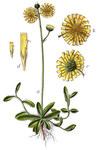 """Geöhrtes Habichtskraut - Hieracium lactucella; Bildquelle: <a href=""""https://www.pflanzen-deutschland.de/quellen.php?bild_quelle=Deutschlands Flora in Abbildungen"""">Deutschlands Flora in Abbildungen</a>; Bildlizenz: <a href=""""https://creativecommons.org/licenses/publicdomain/deed.de"""" target=_blank title=""""Public Domain"""">Public Domain</a>;"""