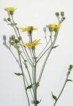 """Glattes Habichtskraut - Hieracium laevigatum; Bildquelle: <a href=""""https://www.pflanzen-deutschland.de/quellen.php?bild_quelle=Wikipedia User Danny S."""">Wikipedia User Danny S.</a>; Bildlizenz: <a href=""""https://creativecommons.org/licenses/by-sa/3.0/deed.de"""" target=_blank title=""""Namensnennung - Weitergabe unter gleichen Bedingungen 3.0 Unported (CC BY-SA 3.0)"""">CC BY-SA 3.0</a>;"""