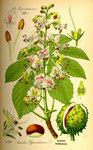 """Gewöhnliche Roßkastanie - Aesculus hippocastanum; Bildquelle: <a href=""""https://www.pflanzen-deutschland.de/quellen.php?bild_quelle=Prof. Dr. Otto Wilhelm Thome Flora von Deutschland, Österreich und der Schweiz 1885, Gera, Germany"""">Prof. Dr. Otto Wilhelm Thome Flora von Deutschland, Österreich und der Schweiz 1885, Gera, Germany</a>; Bildlizenz: <a href=""""https://creativecommons.org/licenses/publicdomain/deed.de"""" target=_blank title=""""Public Domain"""">Public Domain</a>;"""