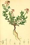 """Alpen-Steintäschel - Aethionema saxatile; Bildquelle: <a href=""""https://www.pflanzen-deutschland.de/quellen.php?bild_quelle=Anton Hartinger, Atlas der Alpenflora 1882"""">Anton Hartinger, Atlas der Alpenflora 1882</a>; Bildlizenz: <a href=""""https://creativecommons.org/licenses/publicdomain/deed.de"""" target=_blank title=""""Public Domain"""">Public Domain</a>;"""