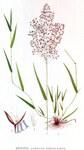 """Rotes Straußgras - Agrostis capillaris; Bildquelle: <a href=""""https://www.pflanzen-deutschland.de/quellen.php?bild_quelle=Bilder ur Nordens Flora / 1917-1926 Author C. A. M. Lindman """">Bilder ur Nordens Flora / 1917-1926 Author C. A. M. Lindman </a>; Bildlizenz: <a href=""""https://creativecommons.org/licenses/publicdomain/deed.de"""" target=_blank title=""""Public Domain"""">Public Domain</a>;"""