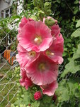 "Stockrose - Alcea rosea; Bildquelle: © <a href=""https://www.pflanzen-deutschland.de/quellen.php?bild_quelle=Bönisch 2012"">Bönisch 2012</a> - <b>All rights reserved</b>"