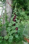 "Stockrose - Alcea rosea; Bildquelle: © <a href=""https://www.pflanzen-deutschland.de/quellen.php?bild_quelle=Bönisch 2009"">Bönisch 2009</a> - <b>All rights reserved</b>"