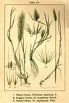 """Mäuse-Gerste - Hordeum murinum; Bildquelle: <a href=""""https://www.pflanzen-deutschland.de/quellen.php?bild_quelle=Deutschlands Flora in Abbildungen 1796"""">Deutschlands Flora in Abbildungen 1796</a>; Bildlizenz: <a href=""""https://creativecommons.org/licenses/publicdomain/deed.de"""" target=_blank title=""""Public Domain"""">Public Domain</a>;"""