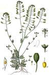 "Kleine Felskresse - Hornungia petraea; Bildquelle: <a href=""https://www.pflanzen-deutschland.de/quellen.php?bild_quelle=Deutschlands Flora in Abbildungen 1796"">Deutschlands Flora in Abbildungen 1796</a>; Bildlizenz: <a href=""https://creativecommons.org/licenses/publicdomain/deed.de"" target=_blank title=""Public Domain"">Public Domain</a>;"