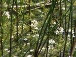 """Wasserfeder - Hottonia palustris; Bildquelle: <a href=""""https://www.pflanzen-deutschland.de/quellen.php?bild_quelle=Wikipedia User B.gliwa"""">Wikipedia User B.gliwa</a>; Bildlizenz: <a href=""""https://creativecommons.org/licenses/by-sa/3.0/deed.de"""" target=_blank title=""""Namensnennung - Weitergabe unter gleichen Bedingungen 3.0 Unported (CC BY-SA 3.0)"""">CC BY-SA 3.0</a>;"""