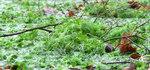 """Wasserfeder - Hottonia palustris; Bildquelle: <a href=""""https://www.pflanzen-deutschland.de/quellen.php?bild_quelle=Wikipedia User Lamiot"""">Wikipedia User Lamiot</a>; Bildlizenz: <a href=""""https://creativecommons.org/licenses/by-sa/3.0/deed.de"""" target=_blank title=""""Namensnennung - Weitergabe unter gleichen Bedingungen 3.0 Unported (CC BY-SA 3.0)"""">CC BY-SA 3.0</a>;"""