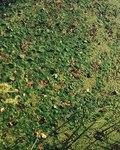 """Froschbiß - Hydrocharis morsus-ranae; Bildquelle: <a href=""""https://www.pflanzen-deutschland.de/quellen.php?bild_quelle=Wikipedia User Franz Xaver"""">Wikipedia User Franz Xaver</a>; Bildlizenz: <a href=""""https://creativecommons.org/licenses/by-sa/3.0/deed.de"""" target=_blank title=""""Namensnennung - Weitergabe unter gleichen Bedingungen 3.0 Unported (CC BY-SA 3.0)"""">CC BY-SA 3.0</a>;"""