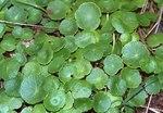 """Gewöhnlicher Wassernabel - Hydrocotyle vulgaris; Bildquelle: <a href=""""https://www.pflanzen-deutschland.de/quellen.php?bild_quelle=Wikipedia User Fice"""">Wikipedia User Fice</a>; Bildlizenz: <a href=""""https://creativecommons.org/licenses/by-sa/3.0/deed.de"""" target=_blank title=""""Namensnennung - Weitergabe unter gleichen Bedingungen 3.0 Unported (CC BY-SA 3.0)"""">CC BY-SA 3.0</a>;"""