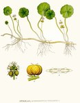 "Gewöhnlicher Wassernabel - Hydrocotyle vulgaris; Bildquelle: <a href=""https://www.pflanzen-deutschland.de/quellen.php?bild_quelle=Carl Axel Magnus Lindman Bilder ur Nordens Flora 1901-1905"">Carl Axel Magnus Lindman Bilder ur Nordens Flora 1901-1905</a>; Bildlizenz: <a href=""https://creativecommons.org/licenses/publicdomain/deed.de"" target=_blank title=""Public Domain"">Public Domain</a>;"