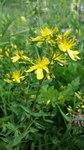"""Zierliches Johanniskraut - Hypericum elegans; Bildquelle: <a href=""""https://www.pflanzen-deutschland.de/quellen.php?bild_quelle=Wikipedia User Stefan.lefnaer"""">Wikipedia User Stefan.lefnaer</a>; Bildlizenz: <a href=""""https://creativecommons.org/licenses/by-sa/3.0/deed.de"""" target=_blank title=""""Namensnennung - Weitergabe unter gleichen Bedingungen 3.0 Unported (CC BY-SA 3.0)"""">CC BY-SA 3.0</a>; <br>Wiki Commons Bildbeschreibung: <a href=""""https://commons.wikimedia.org/wiki/File:Hypericum_elegans_sl2.jpg"""" target=_blank title=""""https://commons.wikimedia.org/wiki/File:Hypericum_elegans_sl2.jpg"""">https://commons.wikimedia.org/wiki/File:Hypericum_elegans_sl2.jpg</a>"""