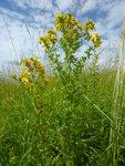 """Schönes Johanniskraut - Hypericum pulchrum; Bildquelle: © <a href=""""https://www.pflanzen-deutschland.de/quellen.php?bild_quelle=Schultes 2009"""">Schultes 2009</a> - <b>All rights reserved</b>"""