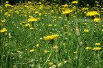 """Gewöhnliches Ferkelkraut - Hypochaeris radicata; Bildquelle: <a href=""""https://www.pflanzen-deutschland.de/quellen.php?bild_quelle=Wikipedia User Strobilomyces"""">Wikipedia User Strobilomyces</a>; Bildlizenz: <a href=""""https://creativecommons.org/licenses/by-sa/3.0/deed.de"""" target=_blank title=""""Namensnennung - Weitergabe unter gleichen Bedingungen 3.0 Unported (CC BY-SA 3.0)"""">CC BY-SA 3.0</a>;"""