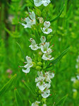 "Ysop - Hyssopus officinalis; Bildquelle: <a href=""https://www.pflanzen-deutschland.de/quellen.php?bild_quelle=Wikipedia User Llez"">Wikipedia User Llez</a>; Bildlizenz: <a href=""https://creativecommons.org/licenses/by-sa/3.0/deed.de"" target=_blank title=""Namensnennung - Weitergabe unter gleichen Bedingungen 3.0 Unported (CC BY-SA 3.0)"">CC BY-SA 3.0</a>;"