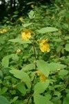 """Großes Springkraut - Impatiens noli-tangere; Bildquelle: © <a href=""""https://www.pflanzen-deutschland.de/quellen.php?bild_quelle=Bönisch 2009"""">Bönisch 2009</a> - <b>All rights reserved</b>"""