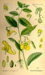 """Großes Springkraut - Impatiens noli-tangere; Bildquelle: <a href=""""https://www.pflanzen-deutschland.de/quellen.php?bild_quelle=Prof. Dr. Otto Wilhelm Thome Flora von Deutschland, Österreich und der Schweiz 1885, Gera, Germany"""">Prof. Dr. Otto Wilhelm Thome Flora von Deutschland, Österreich und der Schweiz 1885, Gera, Germany</a>; Bildlizenz: <a href=""""https://creativecommons.org/licenses/publicdomain/deed.de"""" target=_blank title=""""Public Domain"""">Public Domain</a>;"""